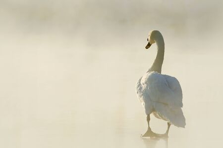 Lone swan on the ice goes into the light of the rising sun photo