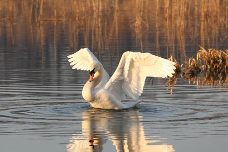 Swan spreads its wings on a sunny morning photo