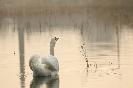 Lonely swan on the lake on a foggy morning photo