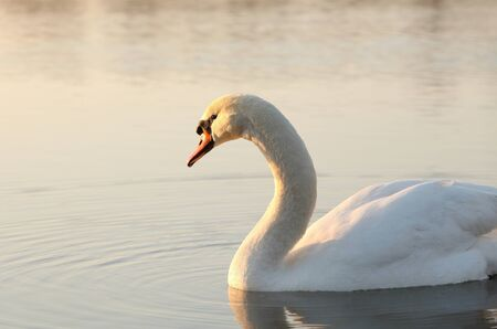 Lonely swan illuminated by the rising sun photo