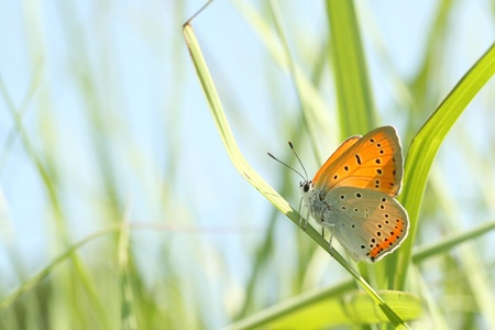 Butterfly  Polyommatus  on a blade of grass against a blue sky photo