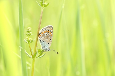 Butterfly  Plebejus argus  in spring meadow photo