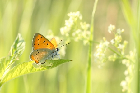 Closeup of a butterfly  Plebejus argus  in spring meadow photo