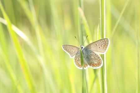 Butterfly  Plebejus argus  on a blade of grass in a spring morning photo