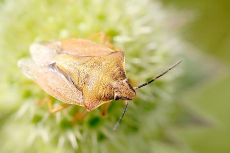 bedbug: Bedbug sits on a flower in the morning