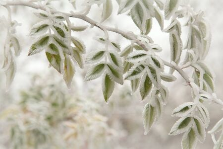 Green leaves covered with frost at the end of autumn photo