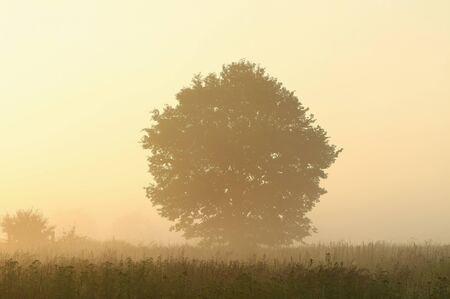oak tree silhouette: Tree in a meadow lit by the sunlight on a foggy summer morning Stock Photo