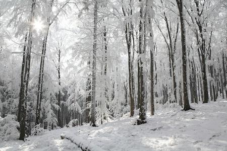 sunny cold days: Landscape of winter forest on a sunny frosty morning