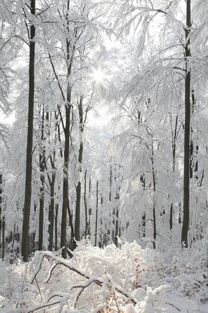 Majestic beech forest on a frosty winter morning Stock Photo - 14533538