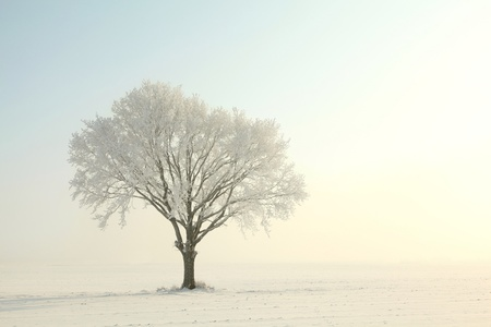 Lonely oak tree covered with frost at dawn photo