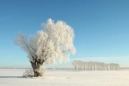 Weidenbaum mit Frost vor einem blauen Himmel bedeckt