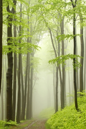 Forest path among the beech trees surrounded by mountain mist photo