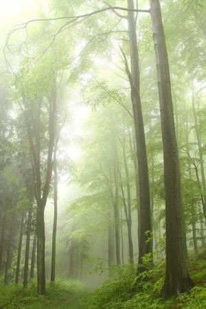 Bospad tussen de beukenbomen omgeven door bergen mist Stockfoto