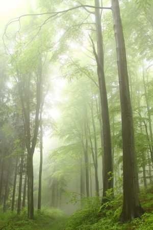 poland: Forest path among the beech trees surrounded by mountain mist