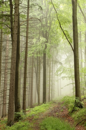 sprinftime: Forest trail among the deciduous and coniferous trees on a foggy morning