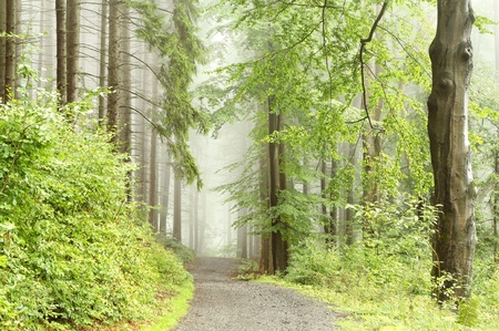 sprinftime: Forest path among the beech trees surrounded by mountain mist