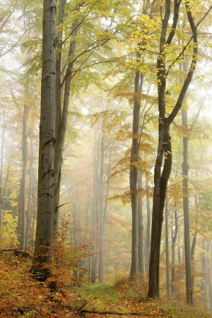 Mountain trail leading through a foggy autumn beech forest on a rainy day Standard-Bild