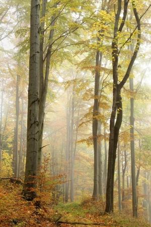 Mountain trail leidt door een mistige herfst beukenbos op een regenachtige dag