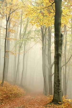 Mountain trail leading through a foggy autumn beech forest on a Octobers morning Stok Fotoğraf