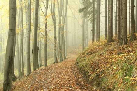 Path leading through a foggy autumn beech forest on a rainy day photo