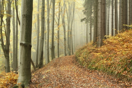 deciduous woodland: Forest trail among the deciduous and coniferous trees on a foggy autumn morning