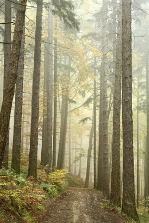Forest trail among the deciduous and coniferous trees on a foggy autumn morning photo