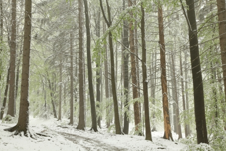 deciduous woodland: Forest trail on the mountain slope during snowfall on a foggy spring morning