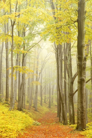 sprinftime: Mountain trail leading through a foggy autumn beech forest on a Octobers morning Stock Photo