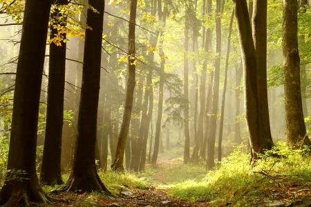 Sentiero che porta attraverso un bosco nebbioso autunno alla cima della montagna, lungo le conifere e latifoglie