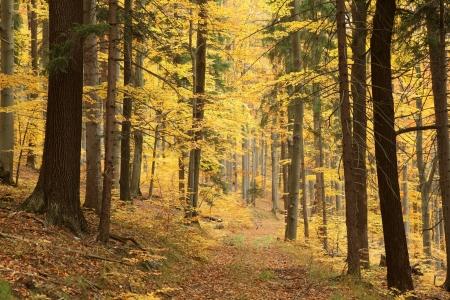 forrest: Pad leidt door een mistige herfst beukenbos op een Octobers ochtend