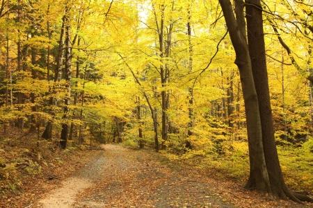 Camino que lleva a trav�s de un bosque de oto�o haya niebla en una ma�ana de octubres