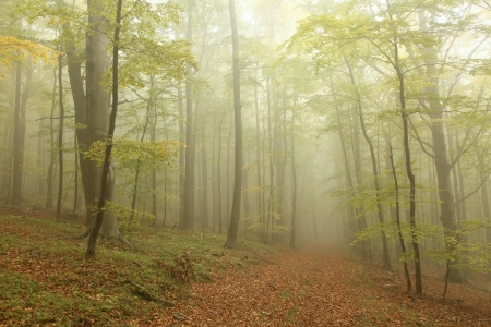alder: Mountain trail leading through a foggy autumn beech forest on a Octobers morning Stock Photo