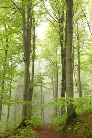 Forest trail among the beech trees on a foggy May morning