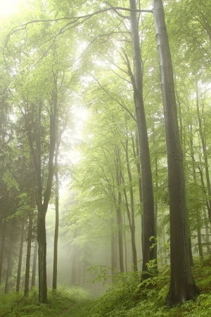 deciduous woodland: Forest trail among the beech trees on a foggy May morning