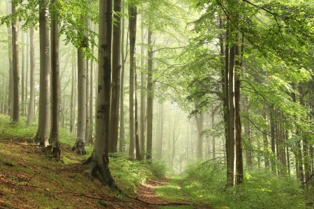 sprinftime: Forest trail among the beech trees on a foggy May morning
