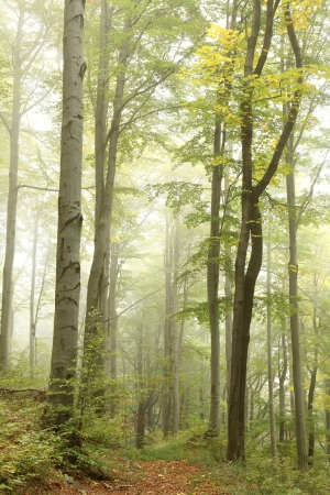 new path: Mountain trail in the beech forest on a foggy autumn morning  Photo taken in Central Europe on the southern Polish