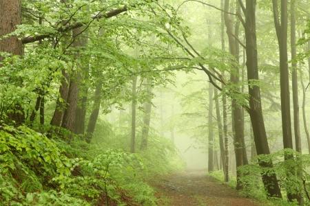 Bosque sendero entre las hayas en una brumosa ma�ana de mayo