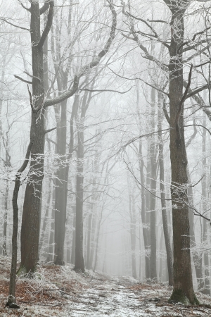Forest trail among frosted beech trees in the winter morning Stock Photo