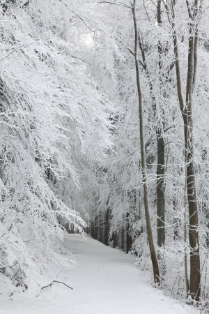 Forest trail among frosted trees during a snowfall