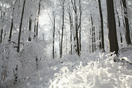 Winter beech forest on the slope on a frosty sunny morning photo