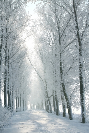 the trees covered with snow: Country road leading among frosted trees on a sunny Decembers morning