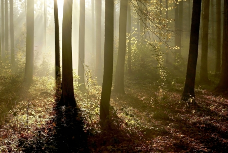 Sunlight entering autumn forest on a misty morning photo