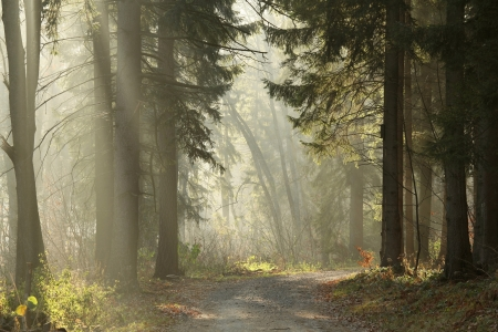 Trail in the coniferous forest on a foggy November morning photo