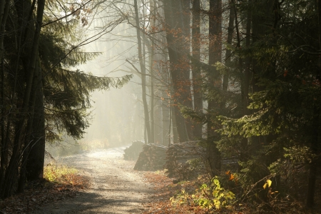 conifer: Country Road in the misty late autumn woods at dawn