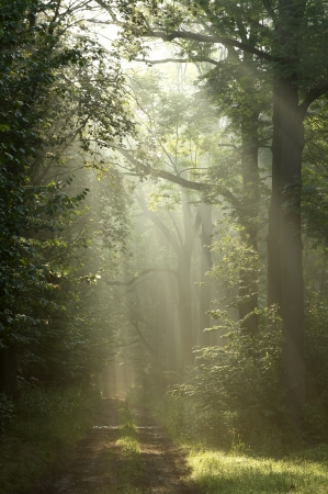 deciduous woodland: Dirt road through the forest in the rays of morning sun