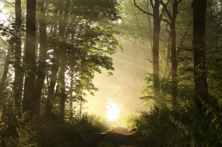 Dirt road leading through the woods on a foggy summer morning Standard-Bild