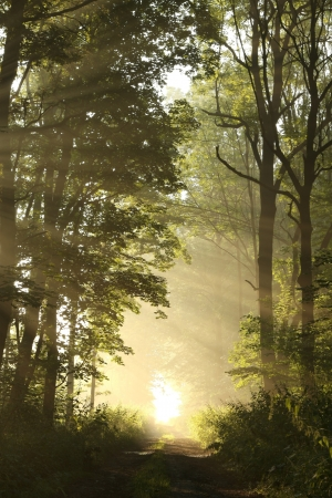 new path: Dirt road in a fresh deciduous forest on a foggy morning
