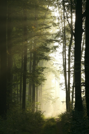 Trail in the majestic deciduous forest on a foggy September morning photo
