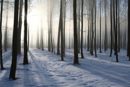 Misty winter woods at dawn   Photo taken in December