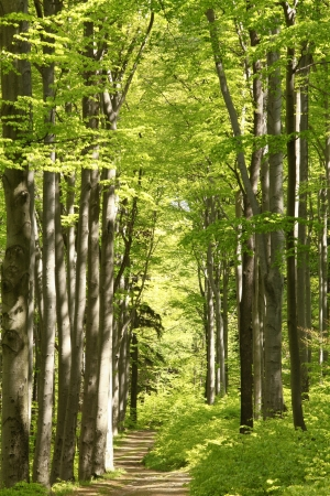 Sentiero nel bosco tra gli alberi di faggio in una mattina soleggiata maggio